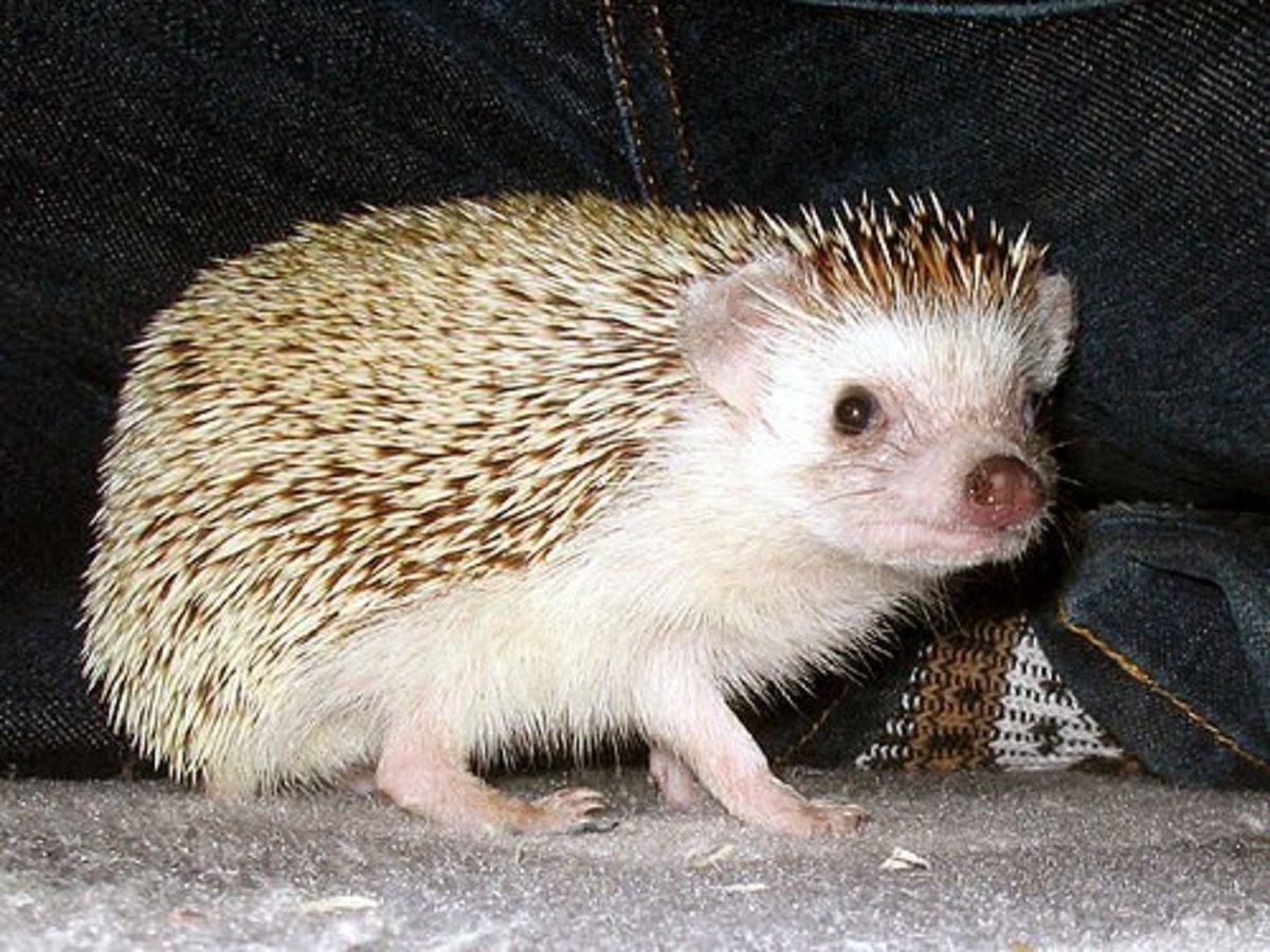 Guide To Raising Pet Hedgehogs | PetHelpful