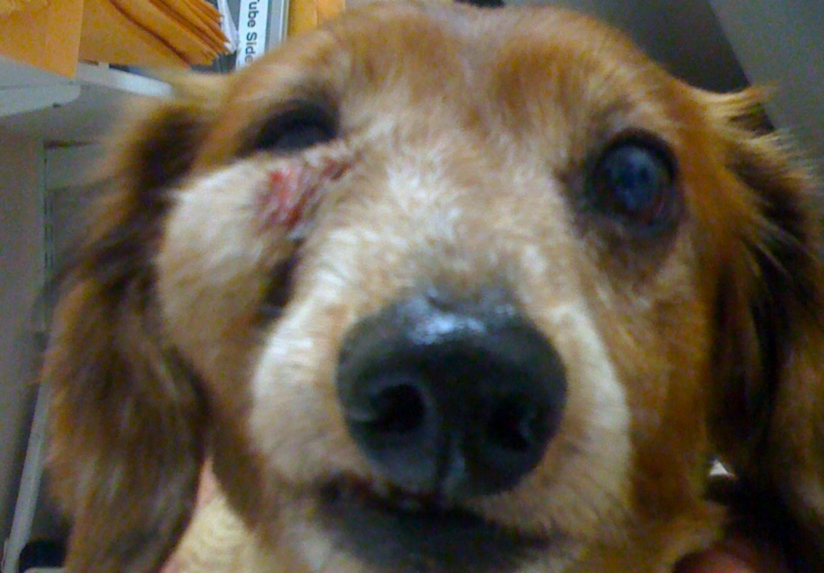 A dog with pus in a facial area because of an auto immune skin disorder.