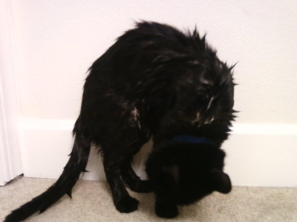 Wet cat, fresh out of a bath!