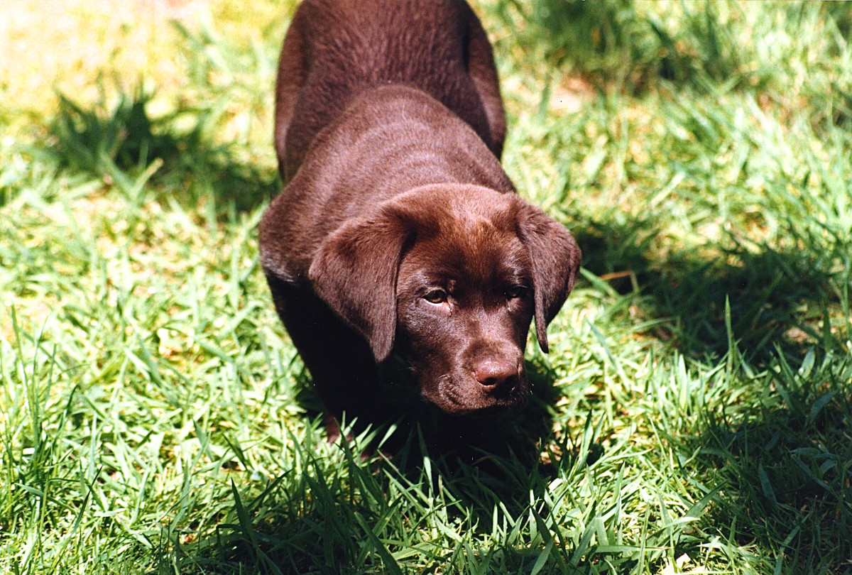 Owen stalking an insect when he was a puppy
