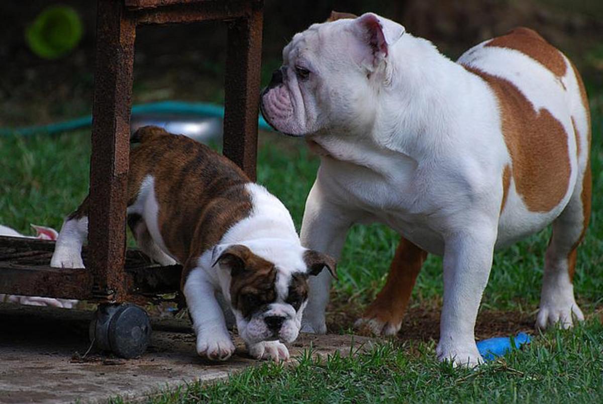 English bulldog and her puppy.