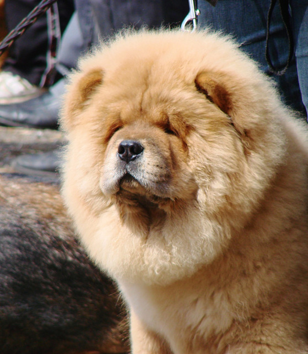 Chow chows are known to be protective of their homes and families.