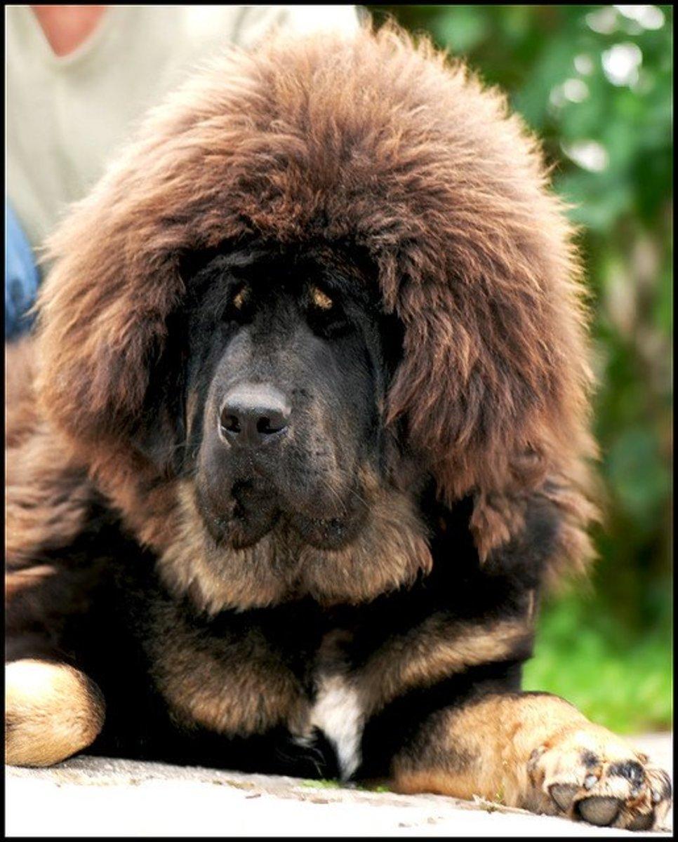 A Tibetan Mastiff puppy.