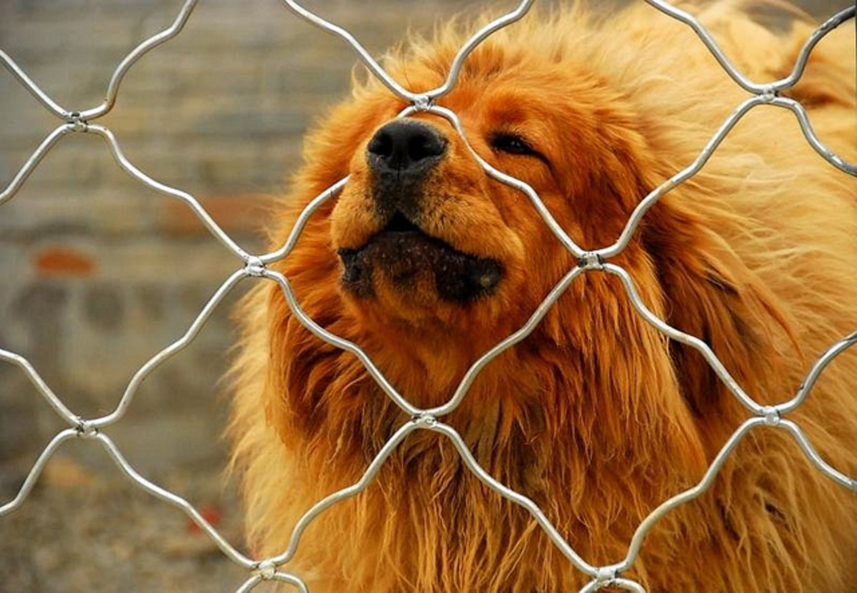 A Tibetan Mastiff on guard duty.