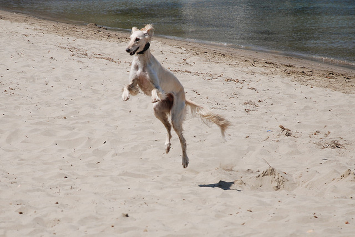 A Saluki on the beach.