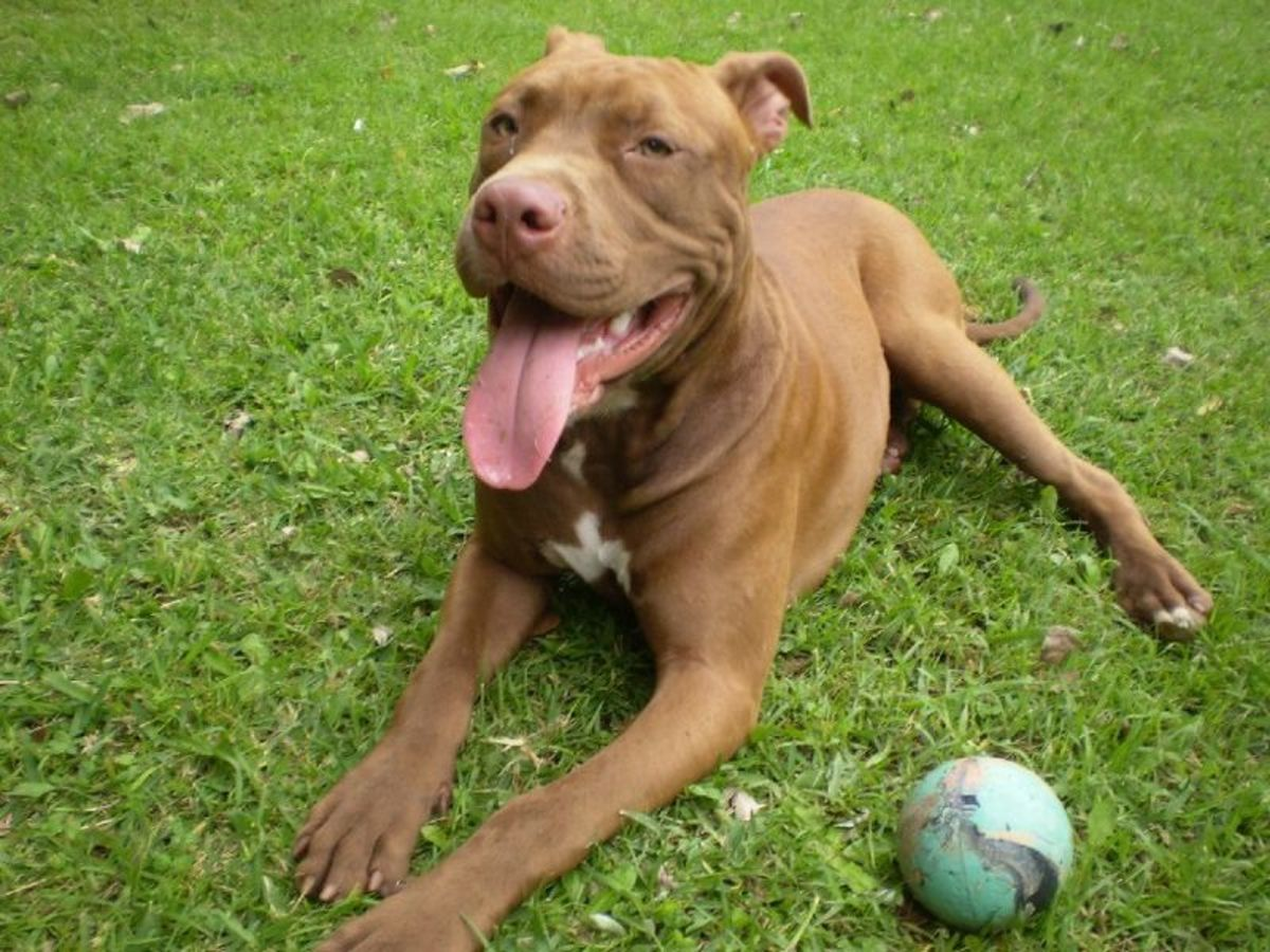"""Though they might seem intimidating, one could easily view most pit bulls as """"powder puffs with muscles."""""""