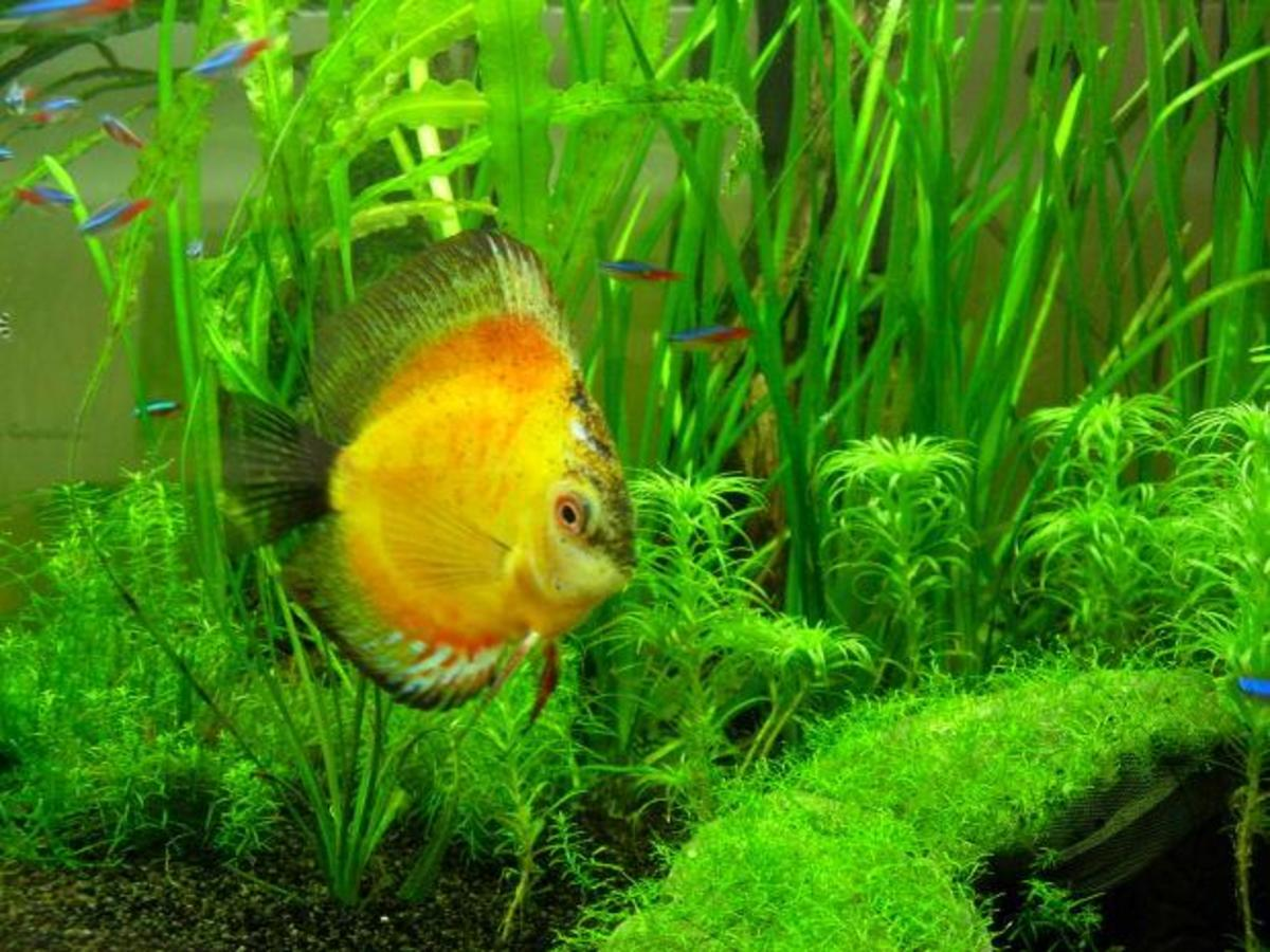Natural green plants look excellent with bright fish.