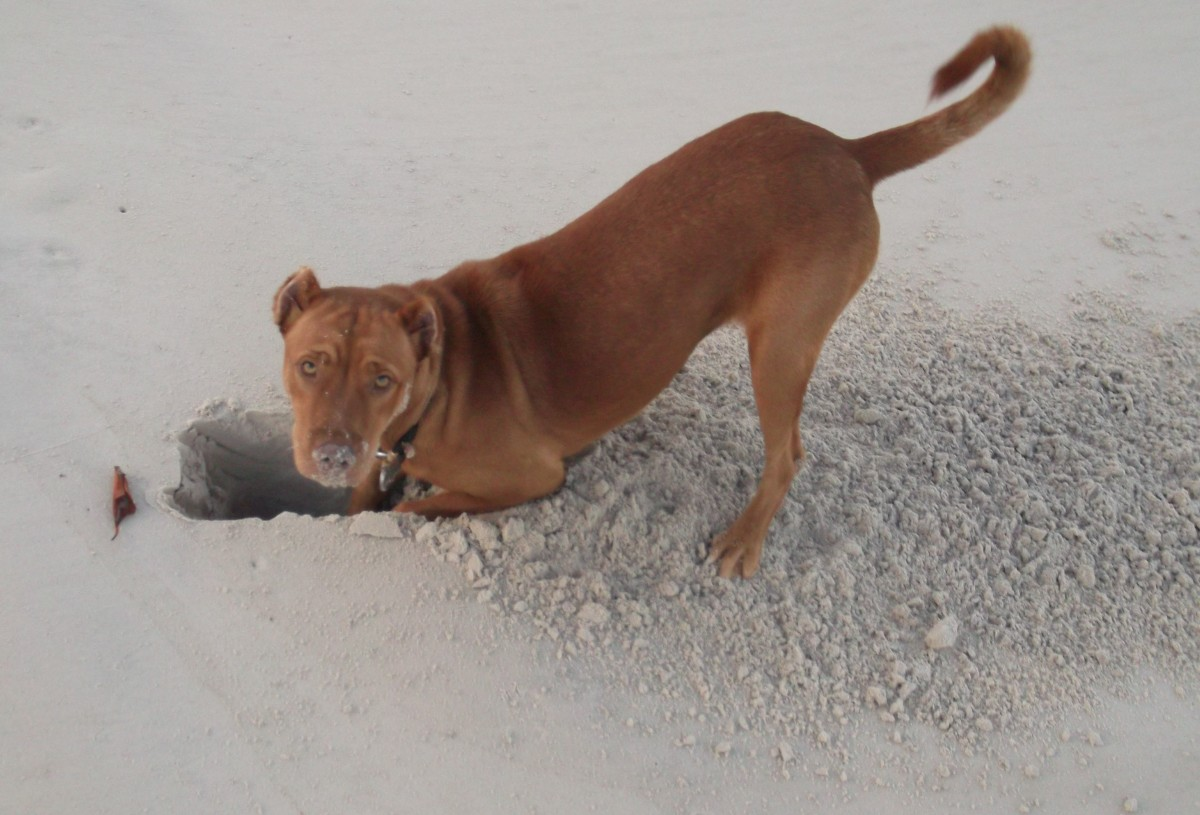 Digging for crab is an important skill in Brazil.