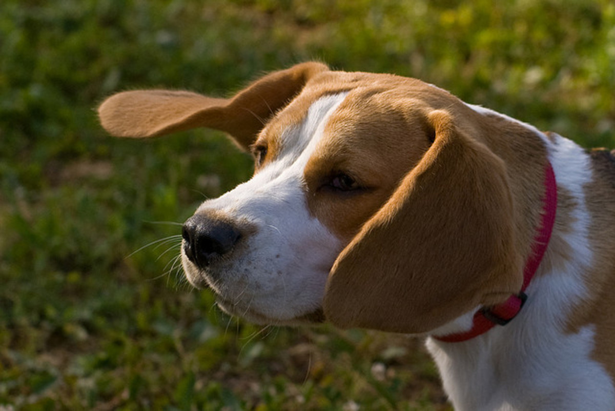Beagles are good for several reasons.