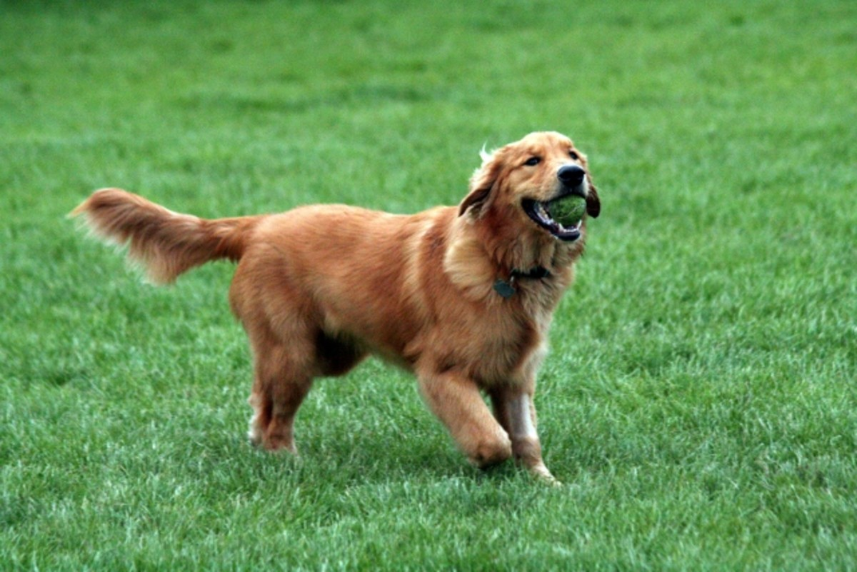top-10-most-popular-dog-breeds-in-america