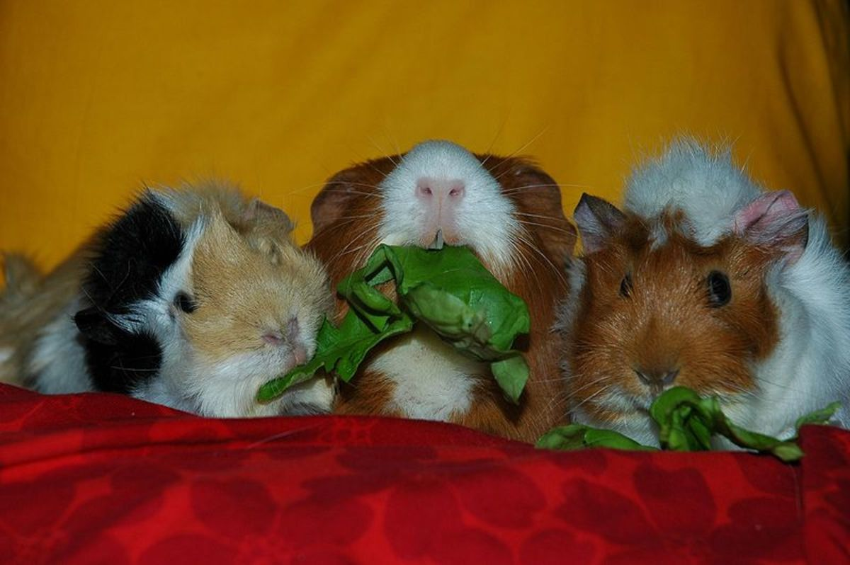 Guinea Pigs: The Eco-Friendly Vegetable Removal System