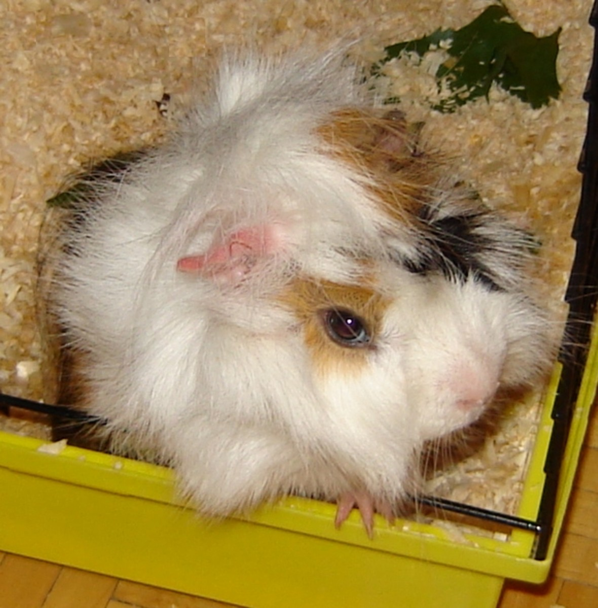 Guinea Pig on Wood Shavings