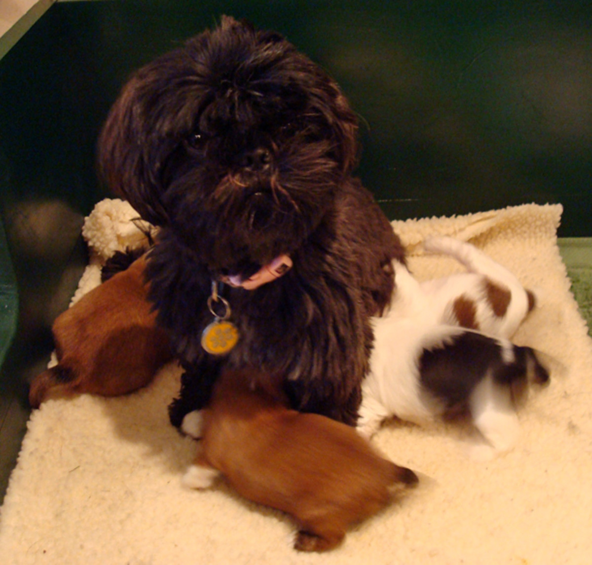 A new litter of Shih tzu puppies.