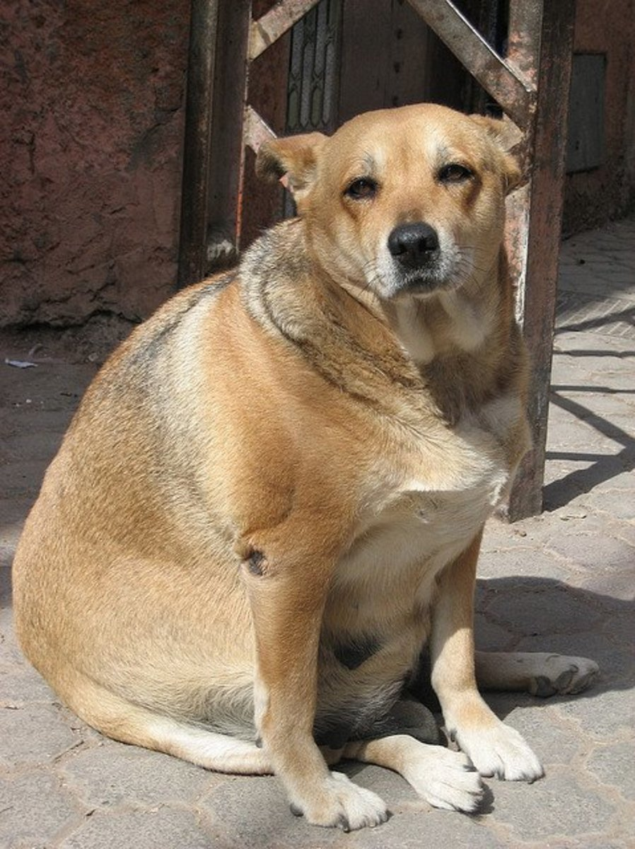 Popular Heavy Chubby Adorable Dog - 7433335  Perfect Image Reference_646059  .jpg