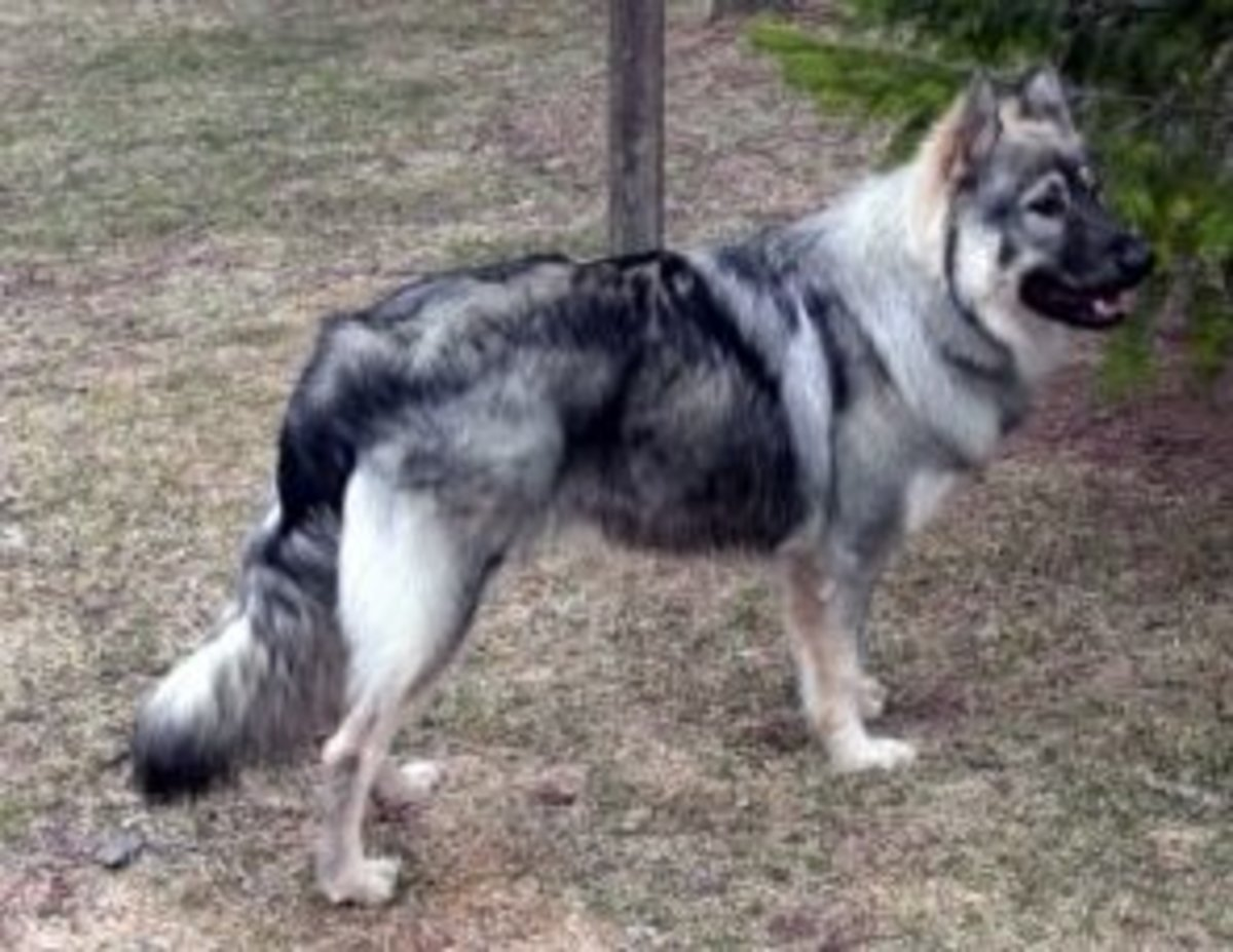 american alsatian dog breed is the new dire wolf pethelpful