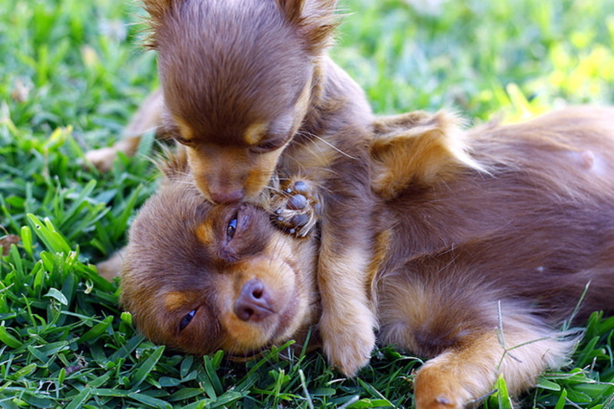 Loving and playful, Chihuahuas make first-rate face lickers.