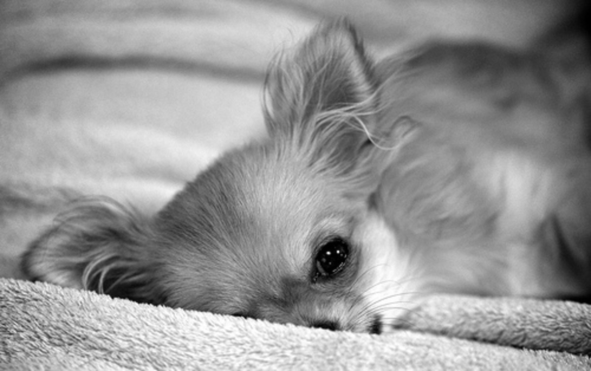 Chihuahuas are snugglers and love to be warm.
