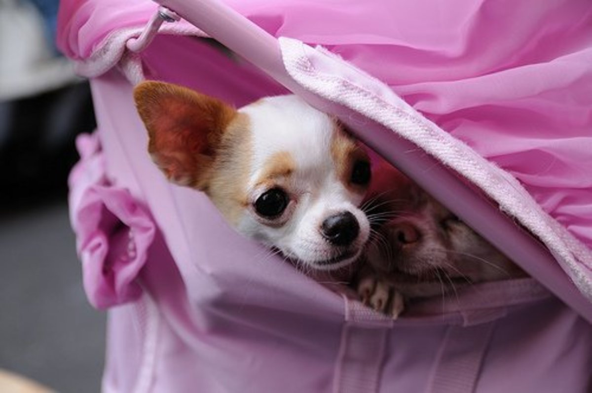 Resist the urge to coddle your Chihuahua or he will become fearful and timid.