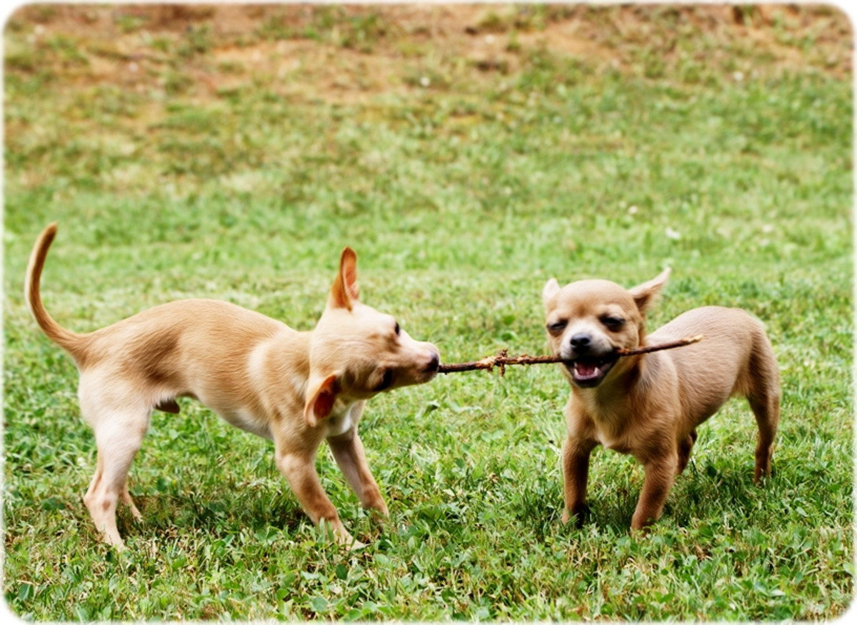 Active and energetic, Chihuahuas need daily exercise and play.
