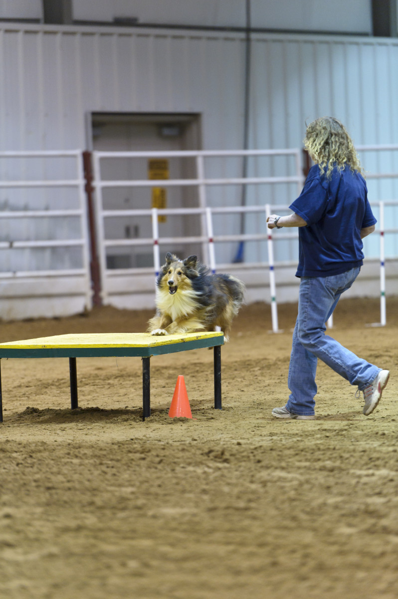 Here the handler is wearing a dark blue shirt and blue jeans both of which will contrast nicely with the brown dirt and white walls of the agility venue.