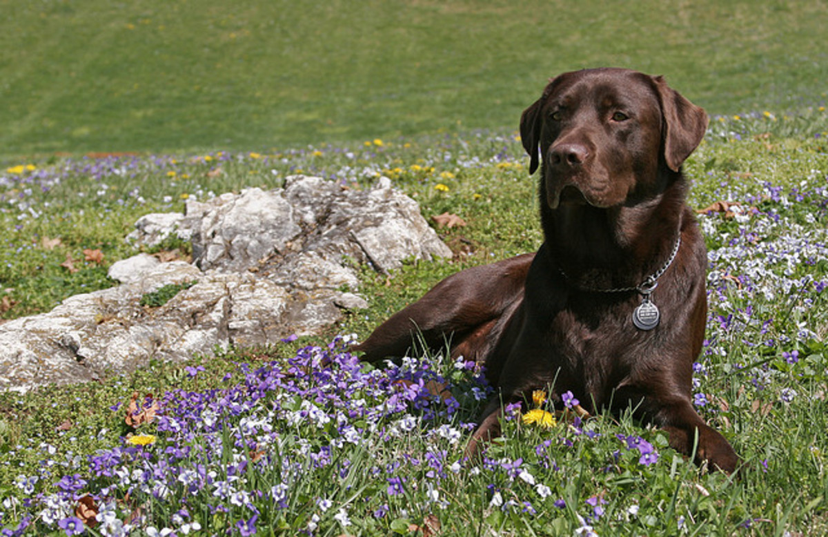 The gorgeous chocolate lab.