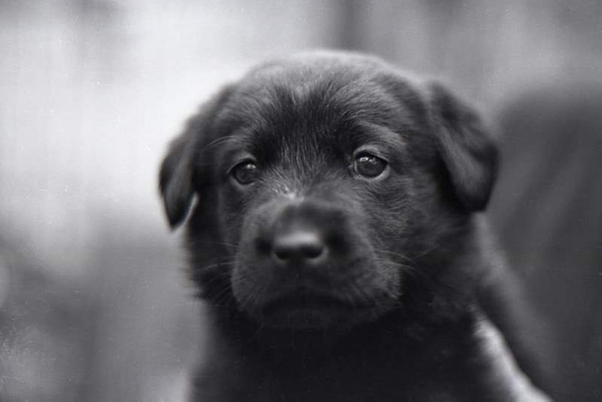 Sweet black lab puppy.