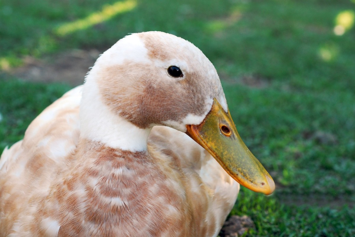 Iliya is a fawn & white Indian runner drake who imprinted on his fellow ducklings. (Photo by Shanti Perez)