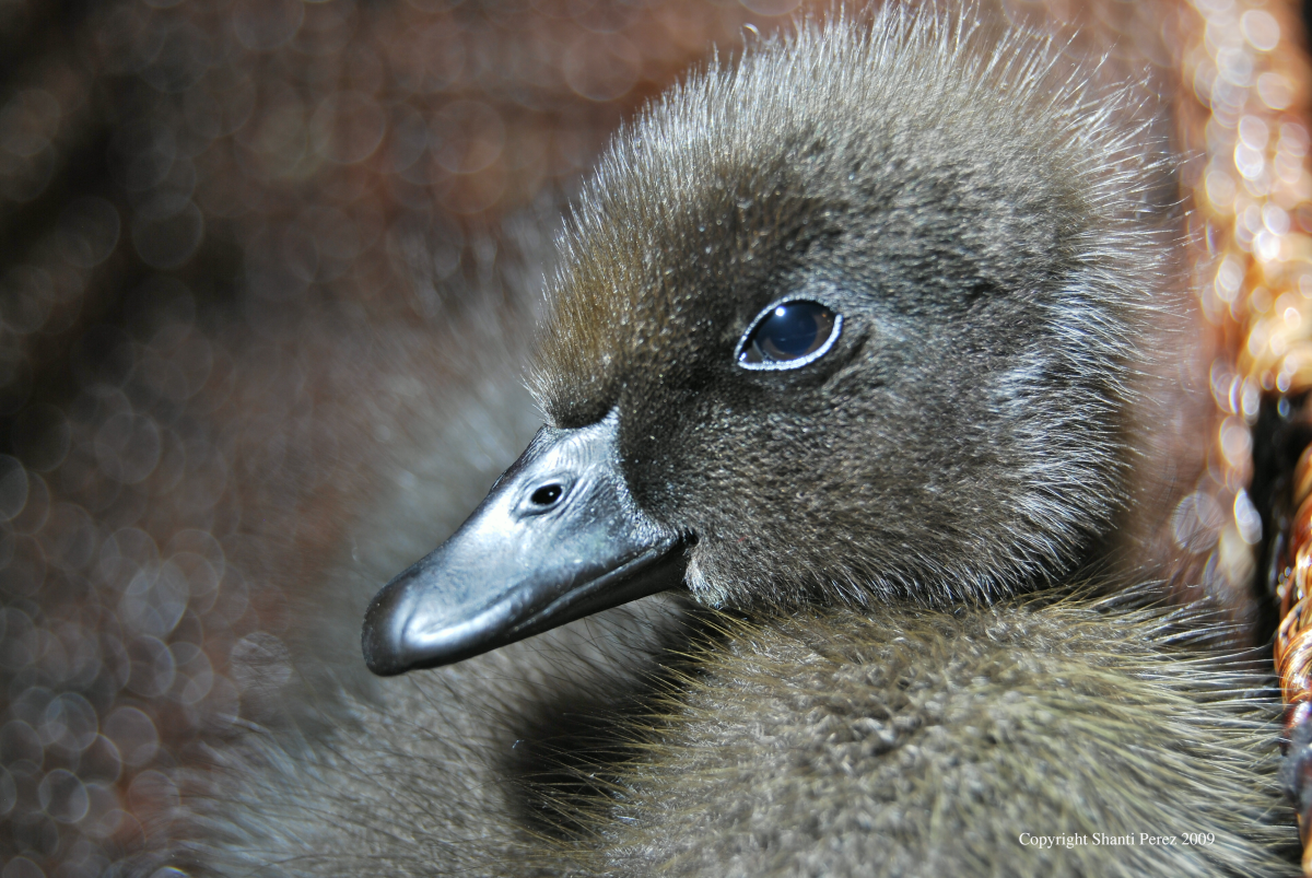 Augie March, a three-day-old imprinted duckling who grew up to be the leader of my flock.