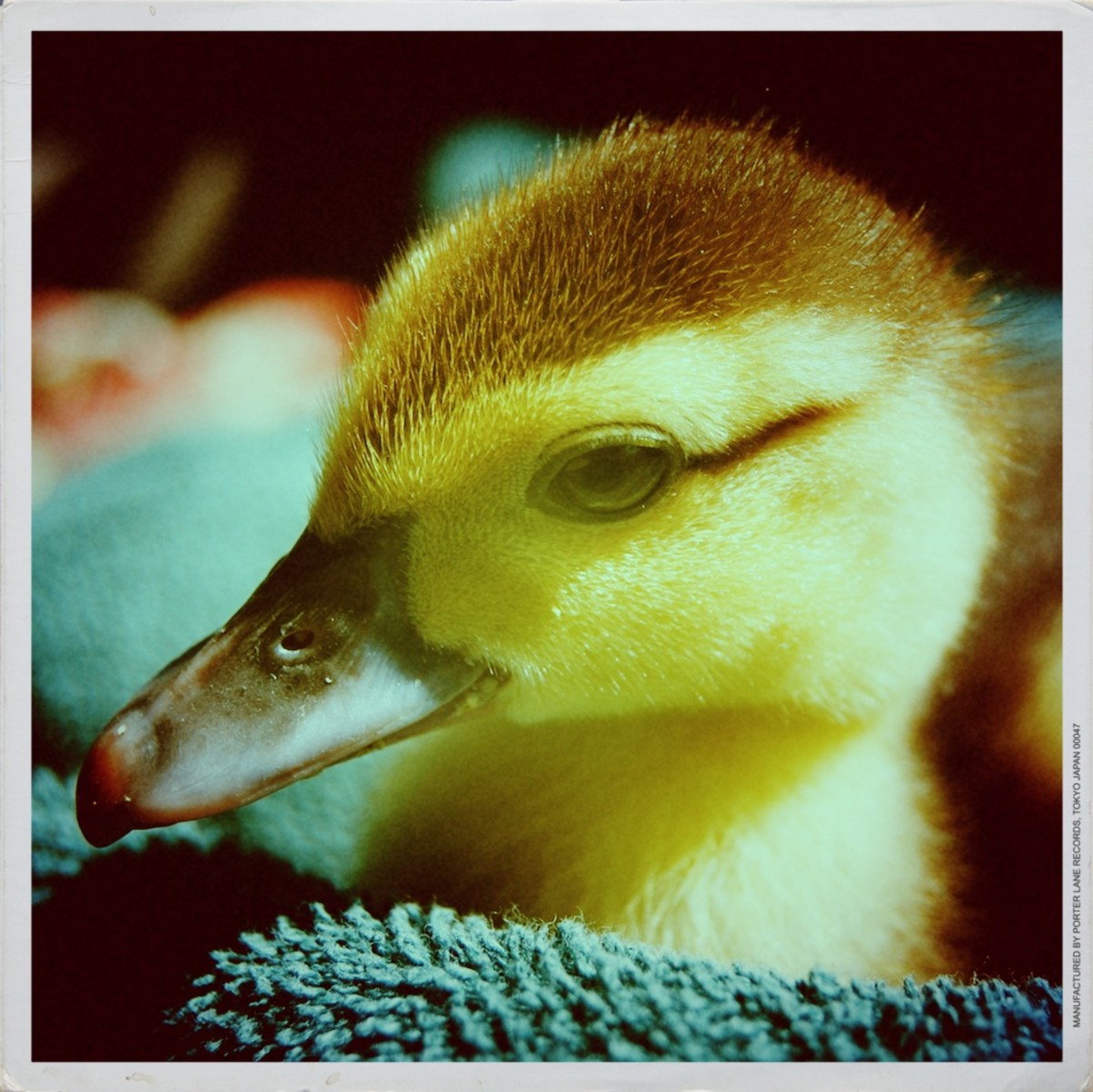 Sao-Ree, an imprinted muscovy duckling who grew up to be a blue drake.