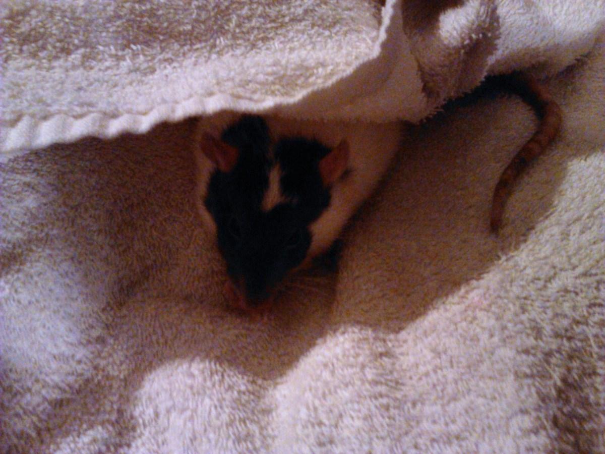 Gadget huddled in her towel after her bath, eating a yogurt treat.