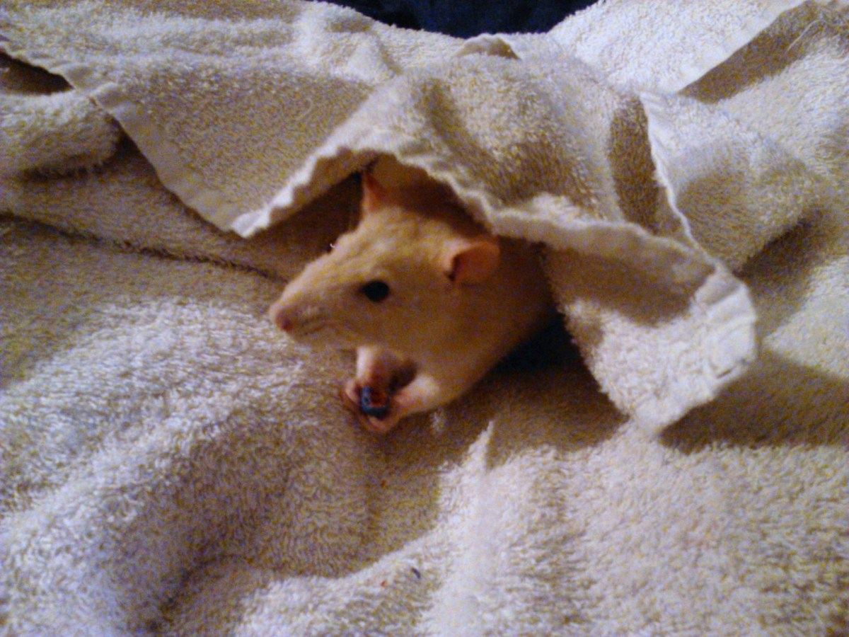Patches enjoyed her treat after her bath while snuggling in her warm towel.