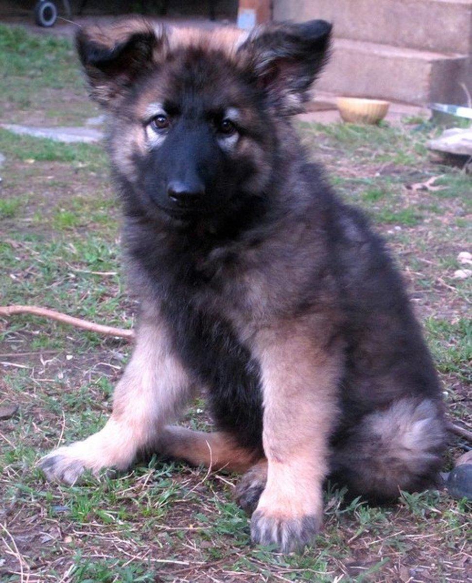 A Shiloh Shepherd puppy.