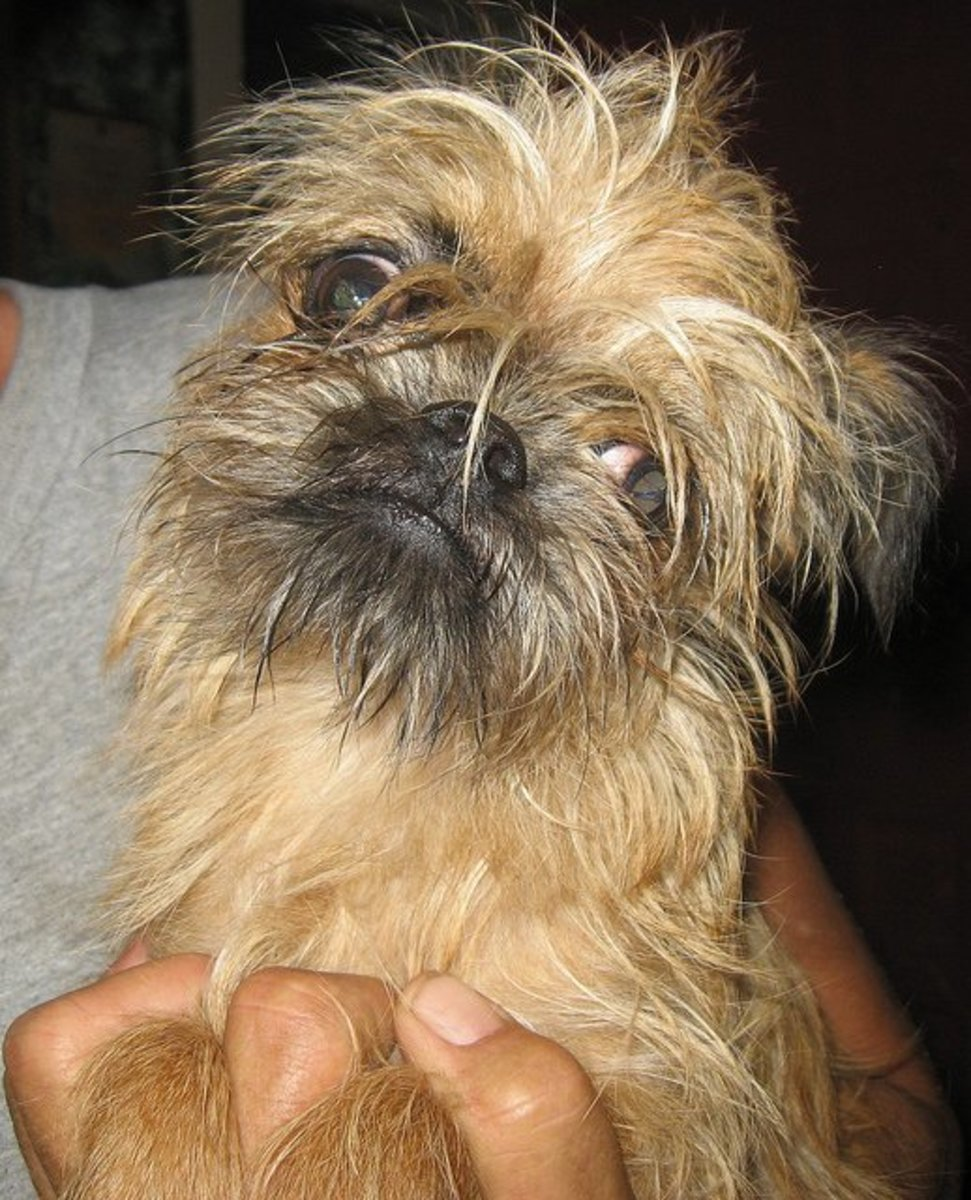 A Brussels Griffon. Have you ever woke up and felt like this?