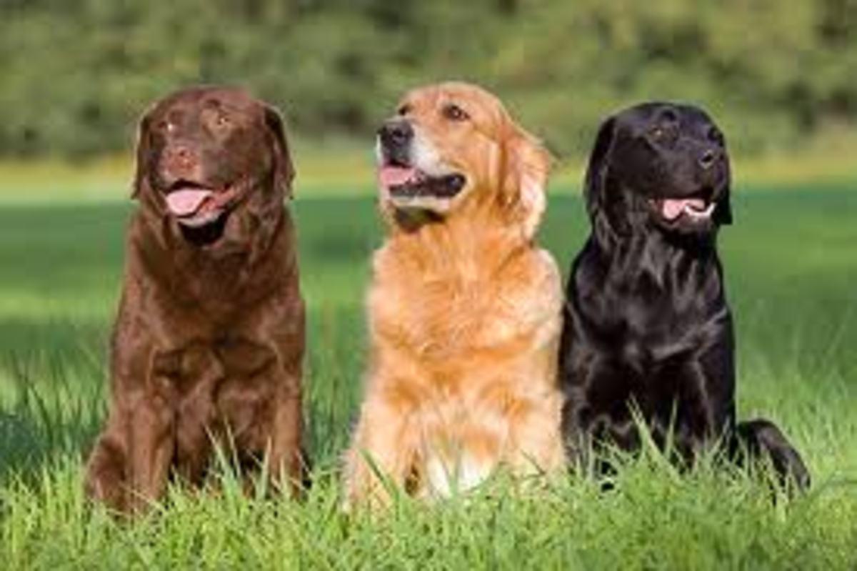 Three Beautiful Labrador Retrievers