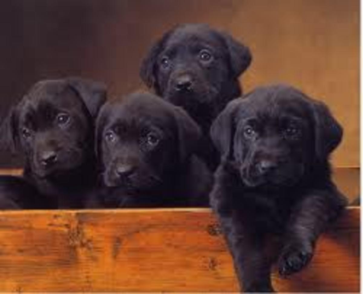 Adorable Black Lab Puppies