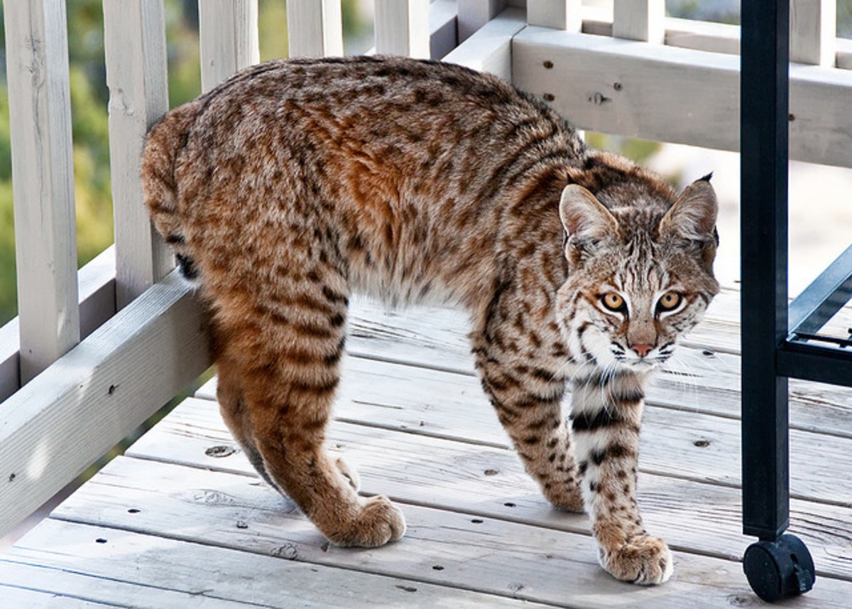 Bobcats can make excellent pets, but only for an owner who is prepared to handle their needs as an exotic pet.