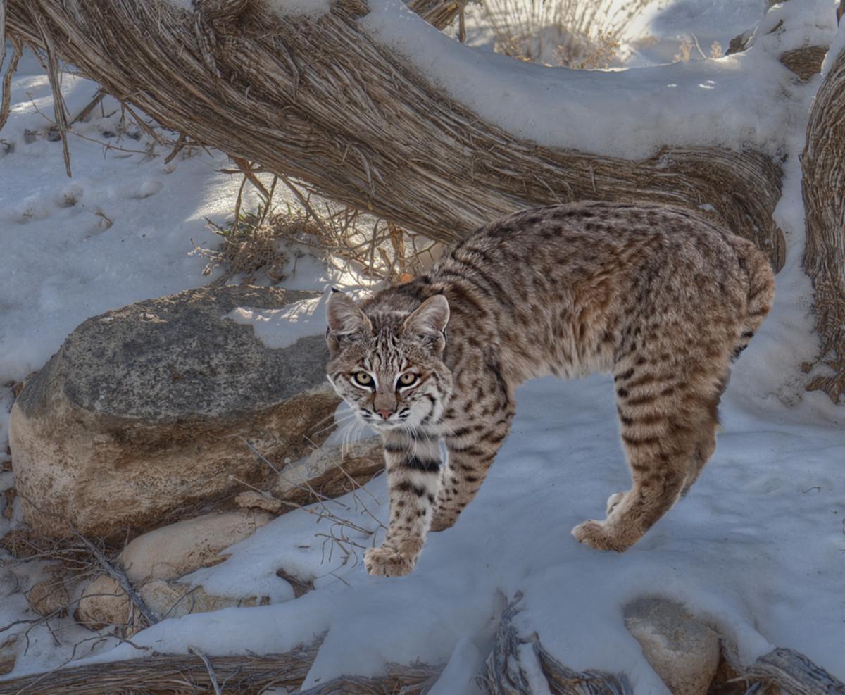 Exotic Pet Care: Bobcats as Pets | PetHelpful