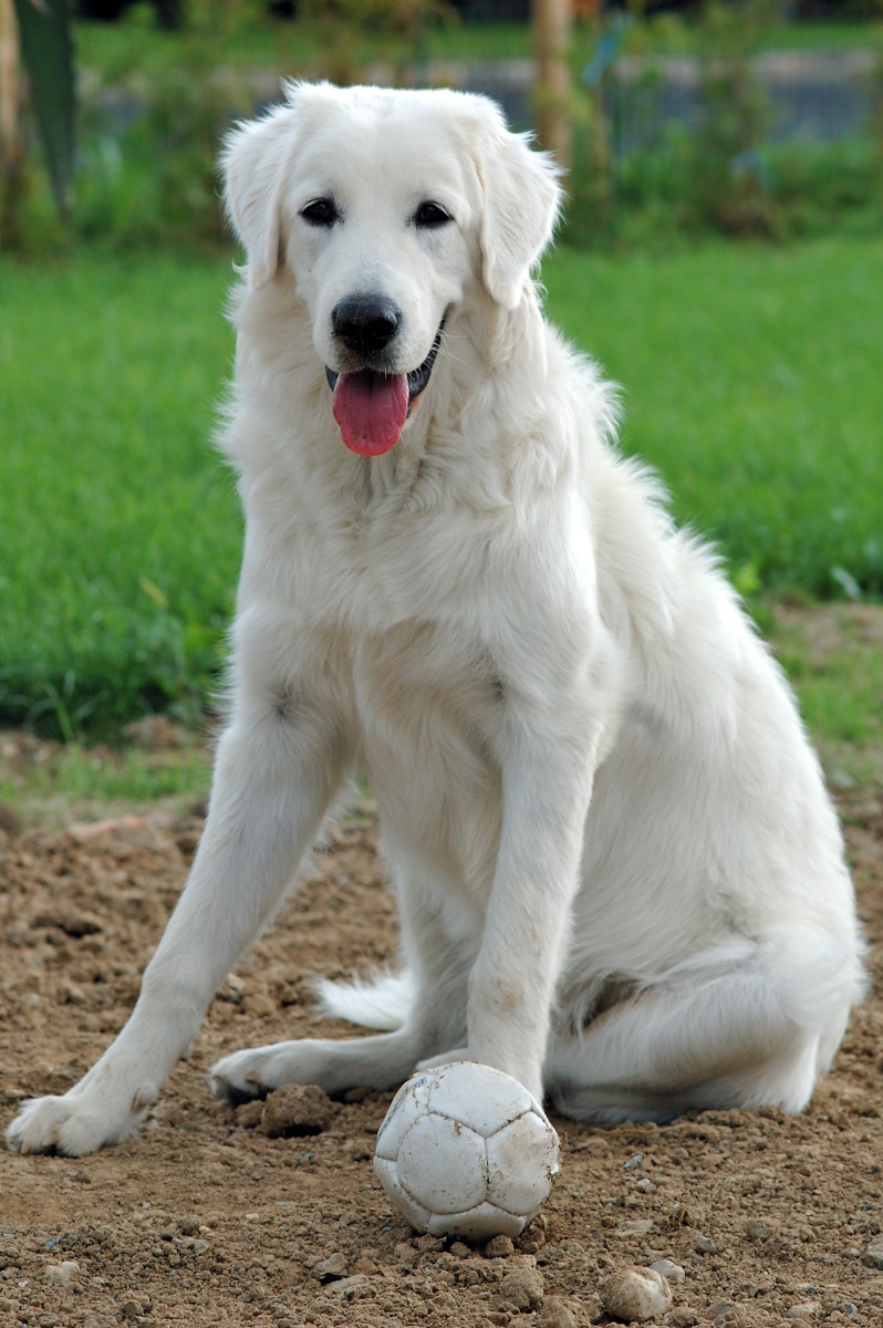 A beautiful dog with a white coat