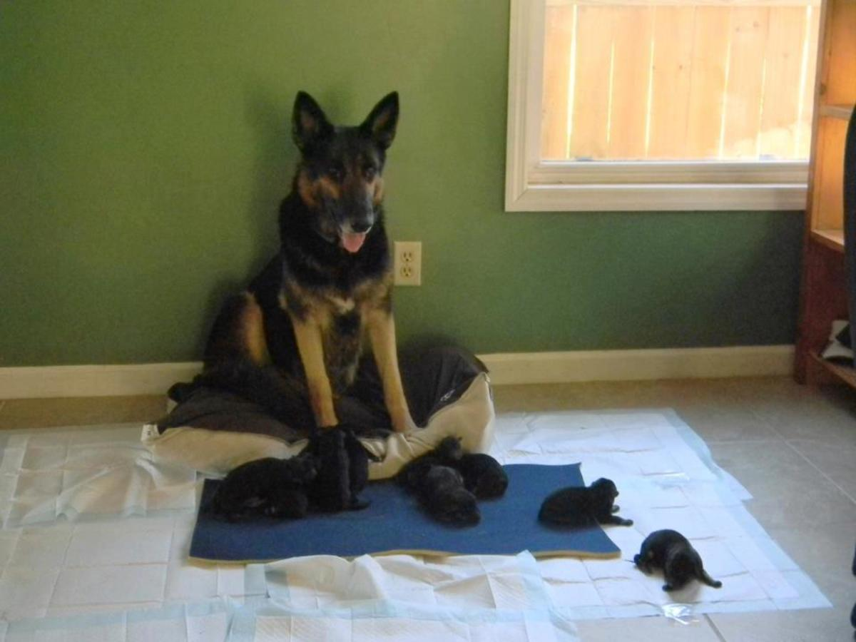 German Shepherd Puppies and their mom, Leigh