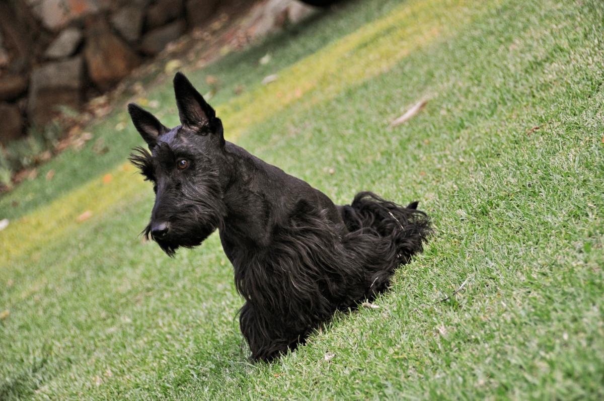 A Scottish terrier