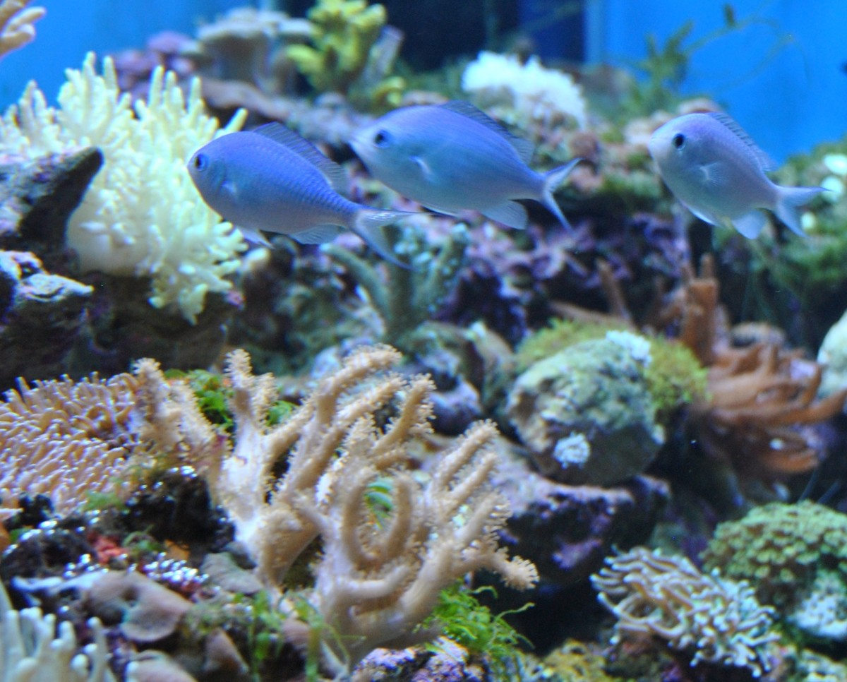 A great looking saltwater aquarium with Blue Green Chromis.  Blue Green Chromis is an excellent saltwater fish for a beginner.