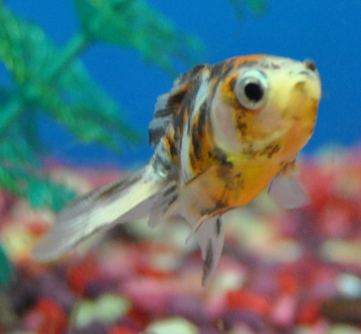 Calico Goldfish