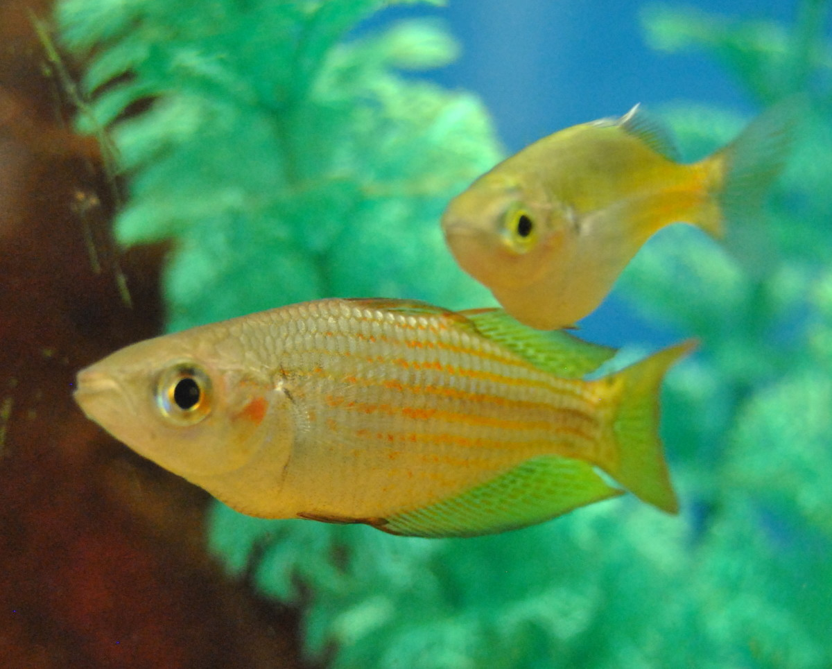 The Boesemani Rainbow is an active schooling fish.