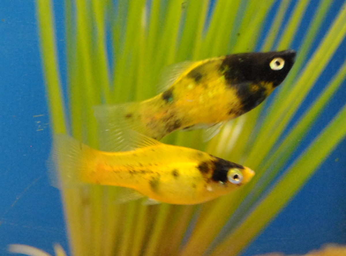 Male (top) and female (bottom) Mollies