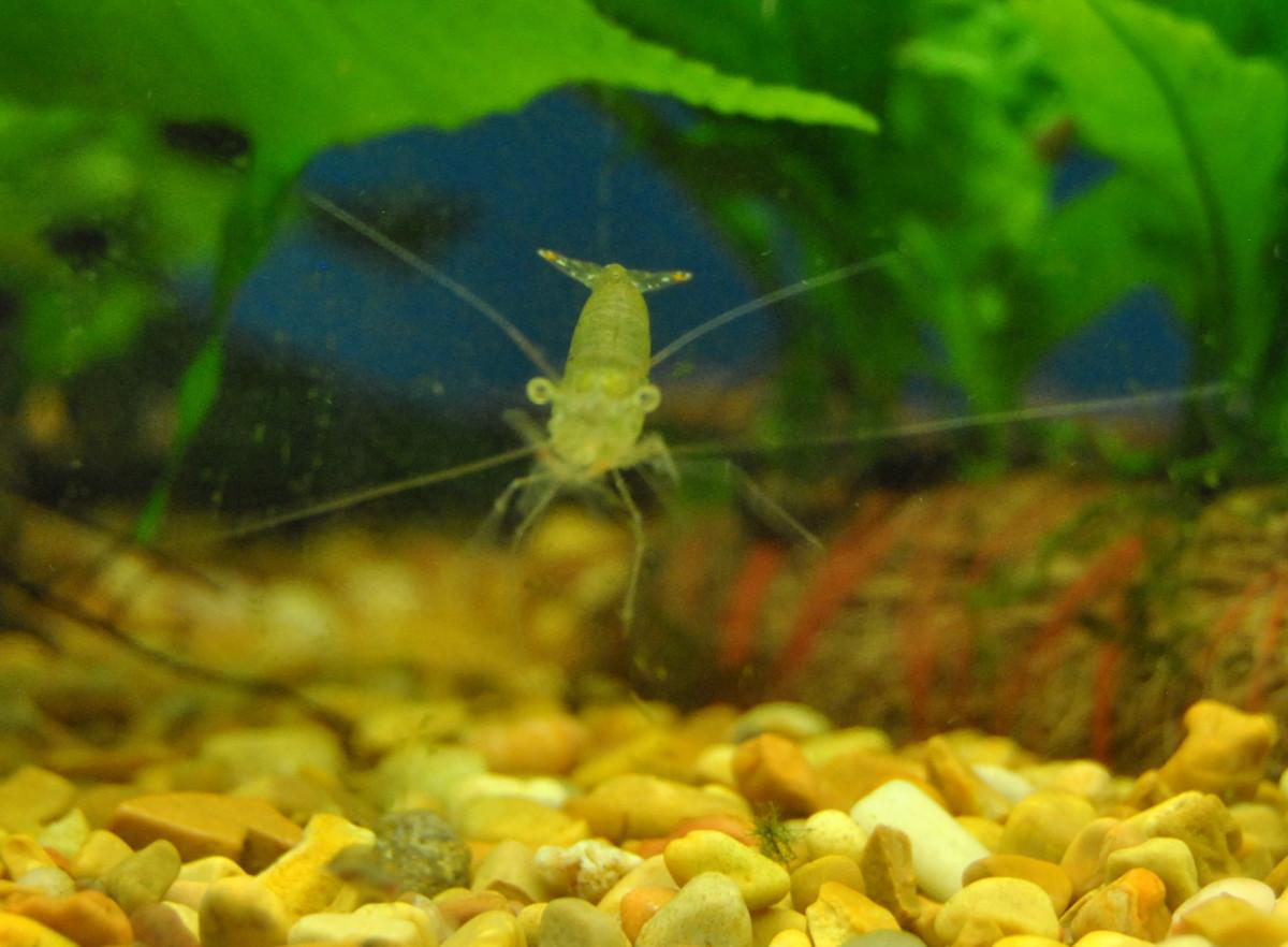 Ghost Shrimp