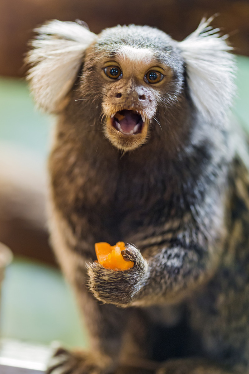 Common marmoset eating fruit.
