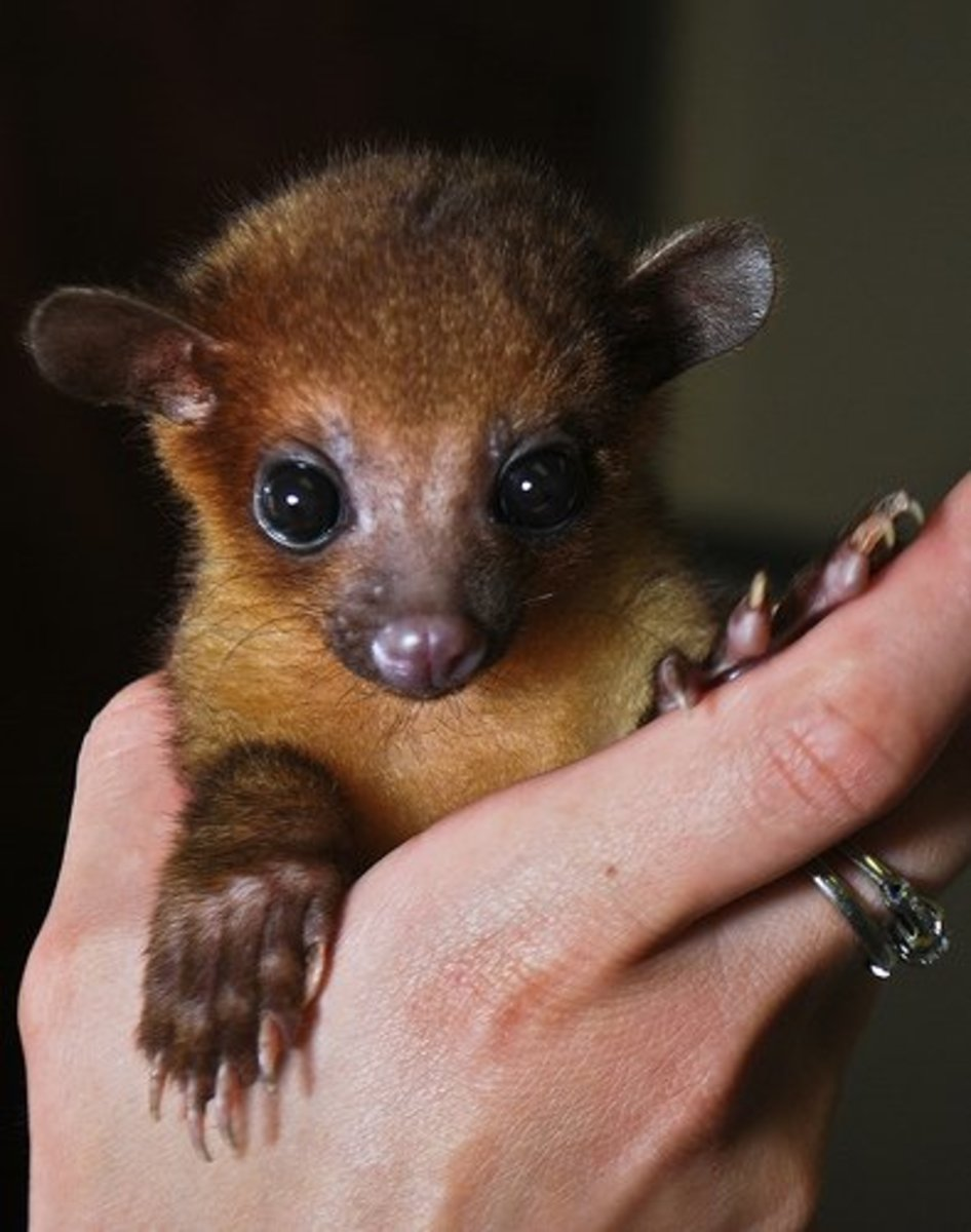 Baby kinkajou being held