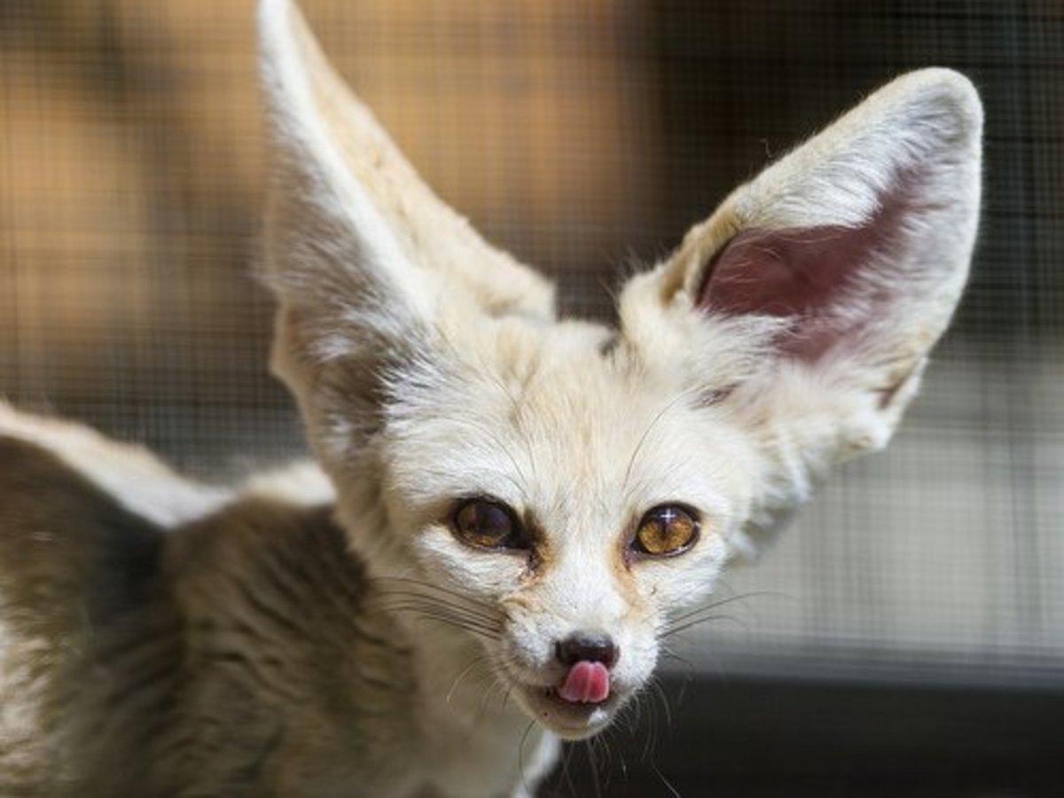 The fennec fox licks its nose.