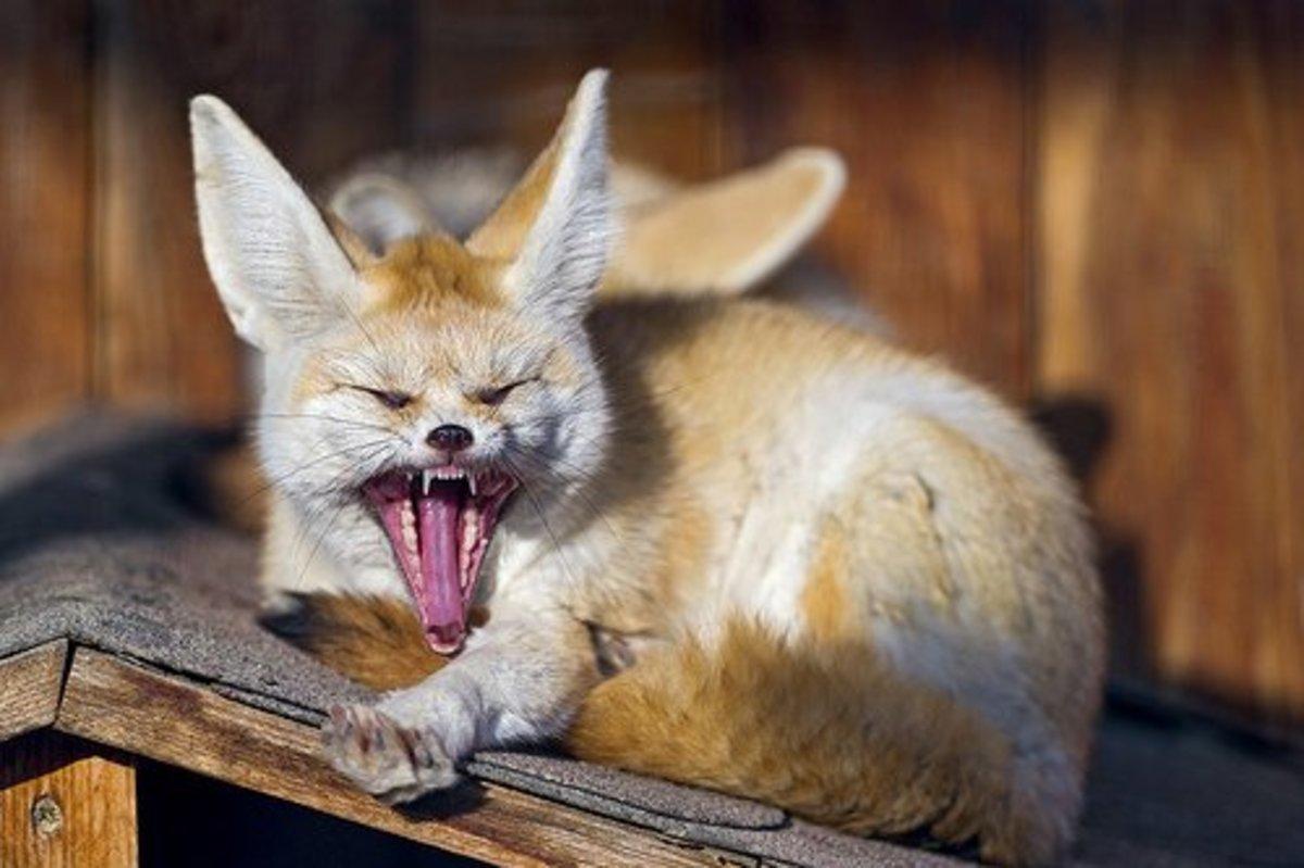 A fennec fox yawning