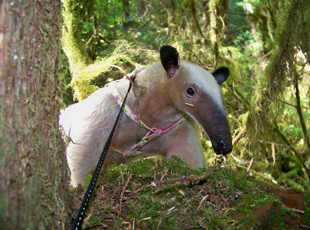 A tamandua on a leash.